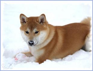 Shiba inu Yoshi neige