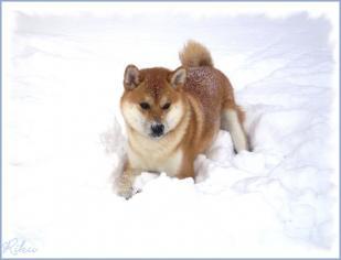 shiba inu Riku neige