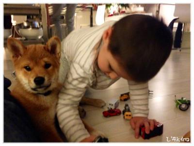 L'Akira le shiba et son petit cousin