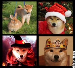 le shiba inu et les fêtes Noel halloween