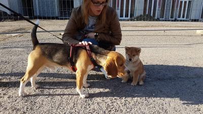 le shiba et les autres chiens