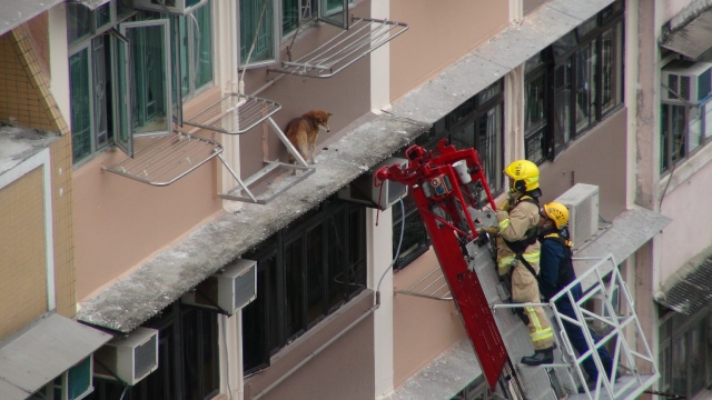Shiba on ledge