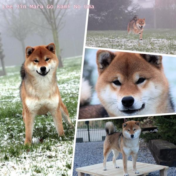 shiba inu lee jin sesam red color