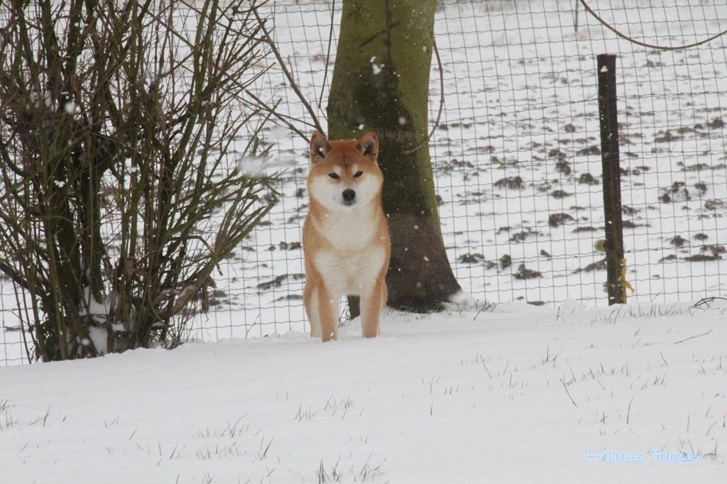 Ichigo Hime from Hillock Snowy