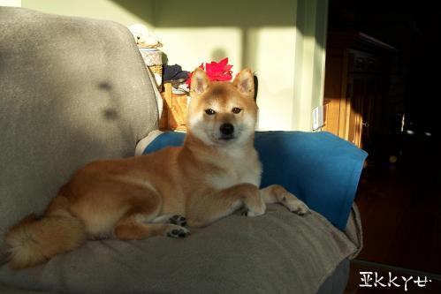 Shiba à la retraite Ikkyu