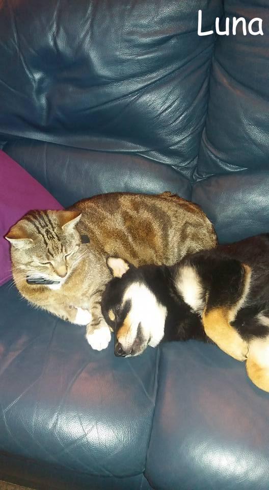 shiba et chat sur canapé