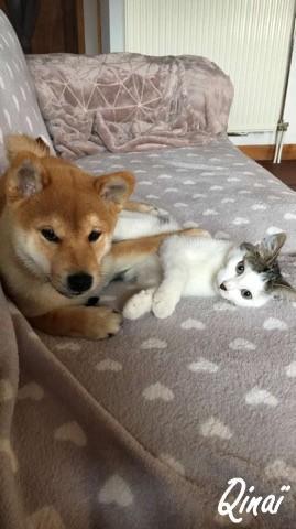 complicité du shiba avec les chats