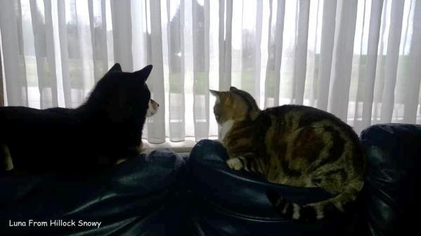 le shiba et le chat commères à la fenetre