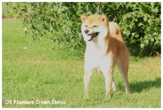 Shiba inu Ikkyu