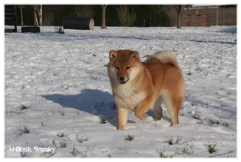 shiba neige