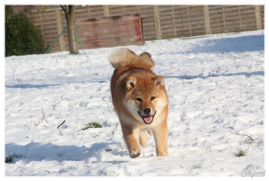 Shiba Inu Ôkami et la neige
