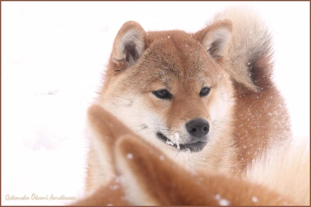 shiba inu neige
