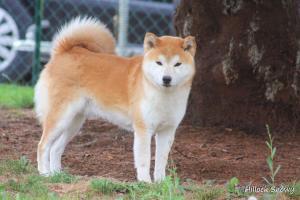 Shiba from hillock snowy élevage