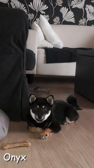 Shiba inu noire Onyx
